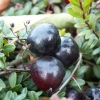 A nursery garden fruit shrubs berry plants cranberry cowberry